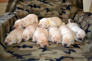 Eight yellow lab puppies sleeping in a row...