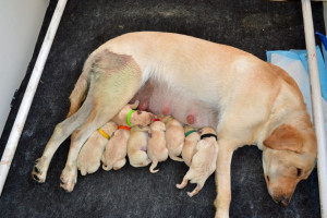 Exhausted Inara with her litter of Colorado Labrador Retriever puppies!
